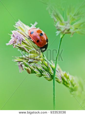 Ladybug Sunlight On The Field. Beautiful Close Up Of Red Ladybug In Nature