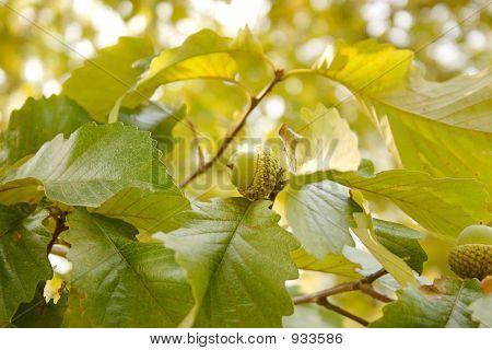 Acorn Live Oak