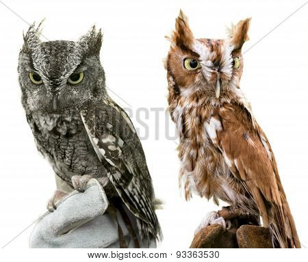 Eastern Screech Owls Isolated