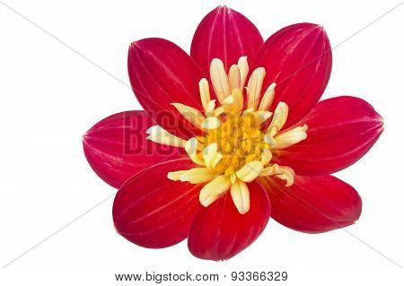 Single red Dahlia flower isolated