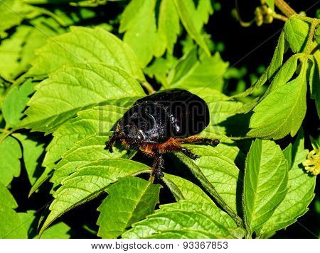 Big scarab beetle sit on green leaves