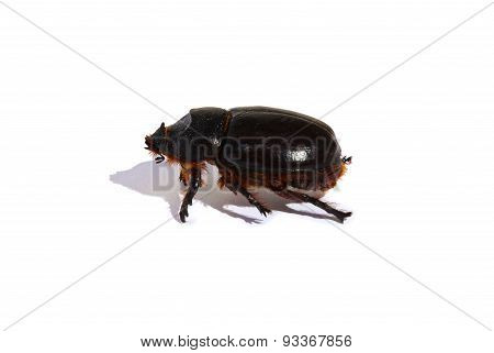 Large hefty black beetle in profile isolated on white background
