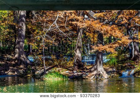 Beautiful Fall Cypress Trees on the Frio River, Texas