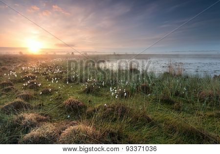 Gold Sunrise Over Swamp With Cottongrass