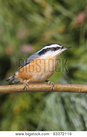 Red-breasted Nuthatch (sitta Canadensis) On A Perch