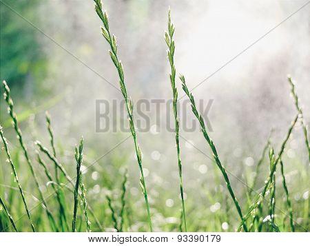 Grass in the rain