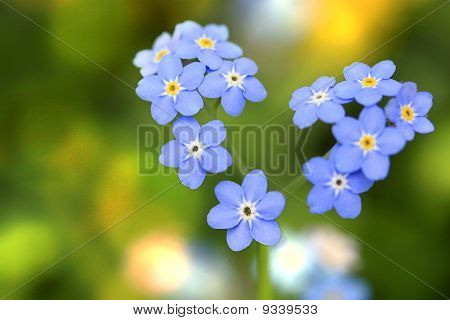 Heart of Forget-me-not