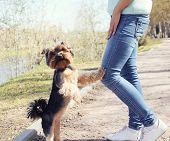 Obedient yorkshire terrier dog with owner in the park poster