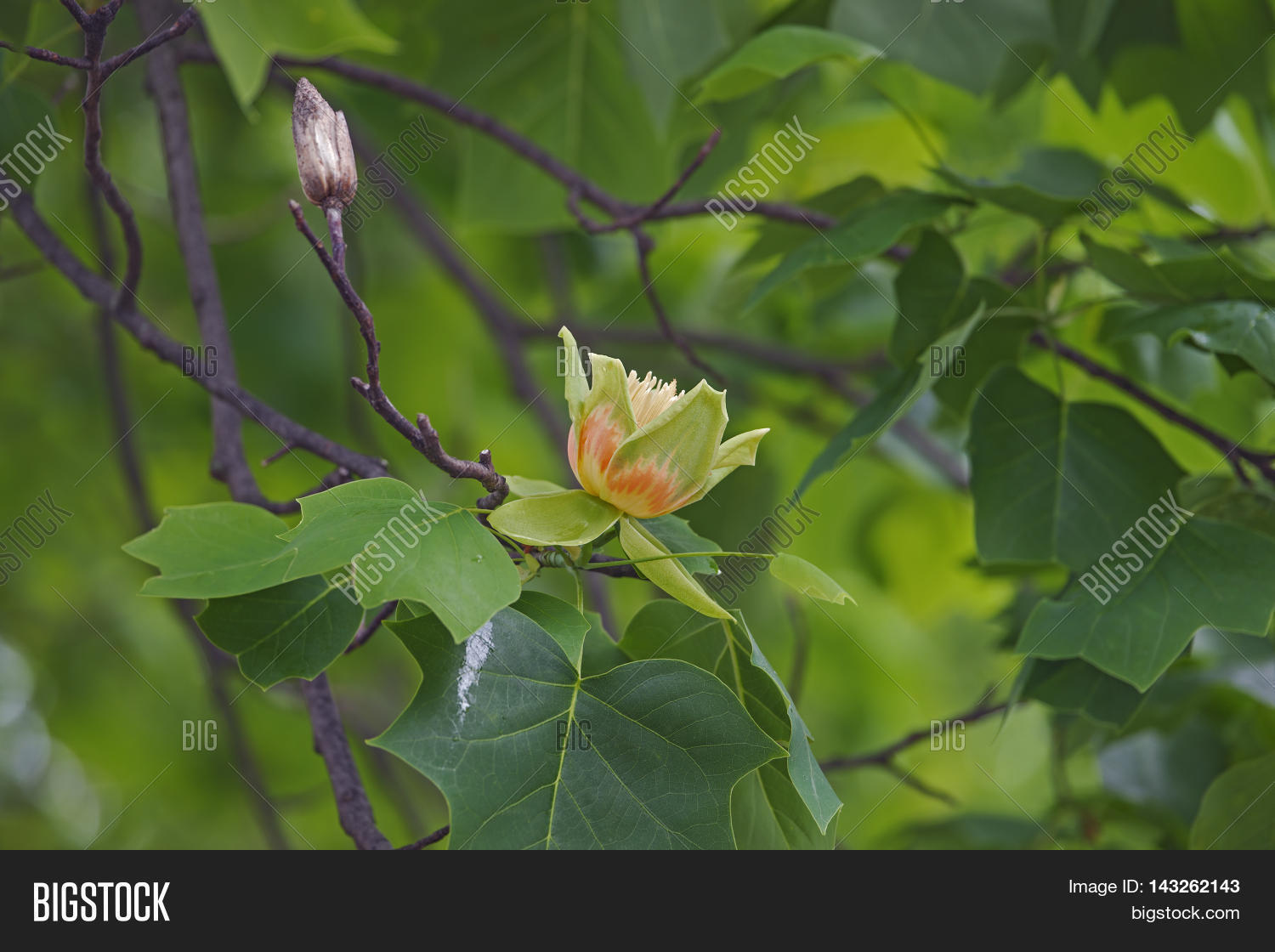 Yellow Poplar Flower Gallery Fresh Lotus Flowers