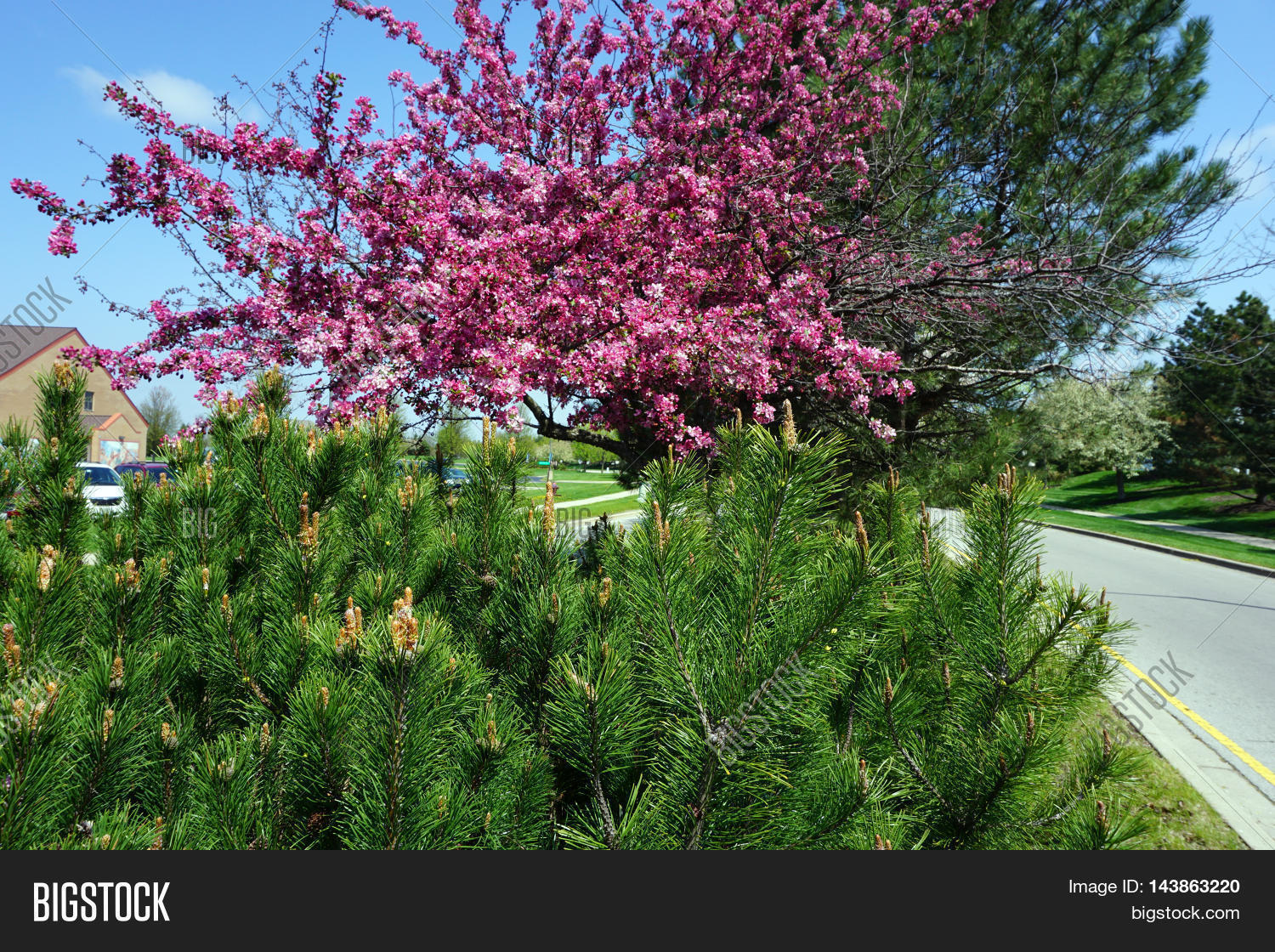 Red pine tree pinus image photo free trial bigstock a red pine tree pinus resinosa grows next to a flowering crab apple tree mightylinksfo