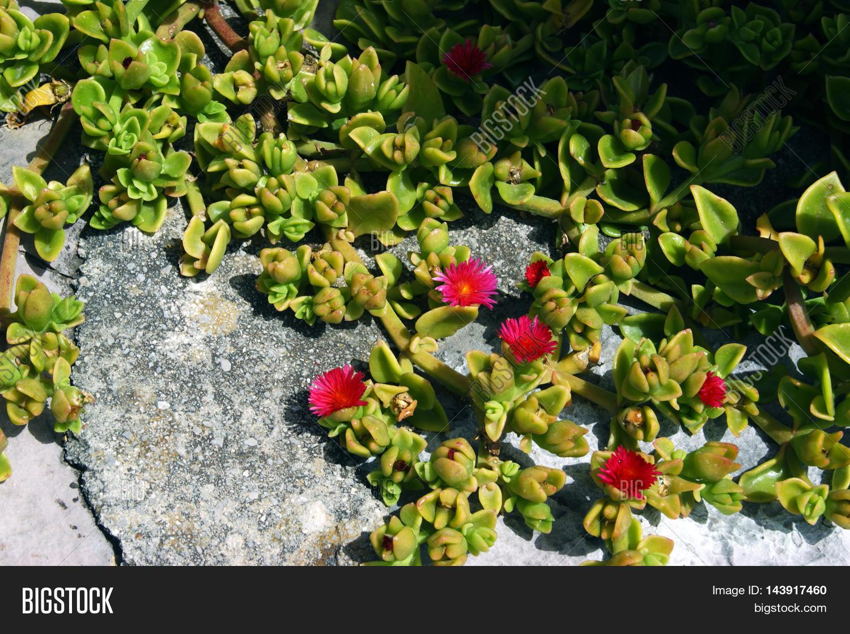 Aptenia Cordifolia Image Photo Free Trial Bigstock