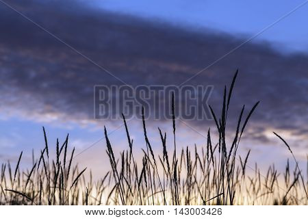 Close-up on Lyme grass on the sandy seashore. Beach, pine and clouds in the background. Nightfall.