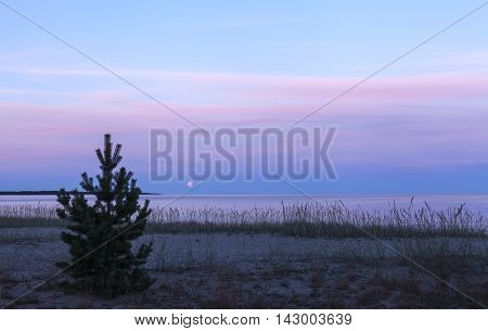 Close-up on pine, and Lyme grass on the sandy seashore. Beach, sea, moon and clouds in the background. Nightfall.
