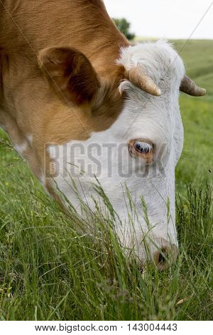 Brown cow with white face bothered by flies on a mountain pasture