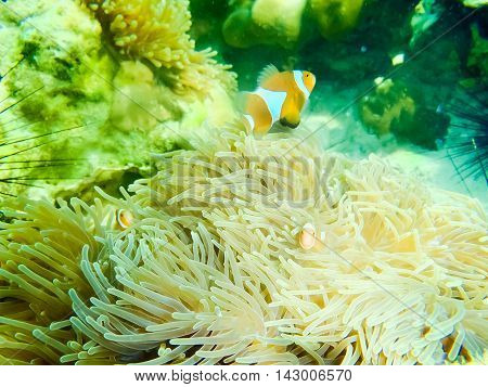 Clown Anemonefish Amphiprion percula swimming among the tentacles of its anemone home. Thailand. Andaman Sea