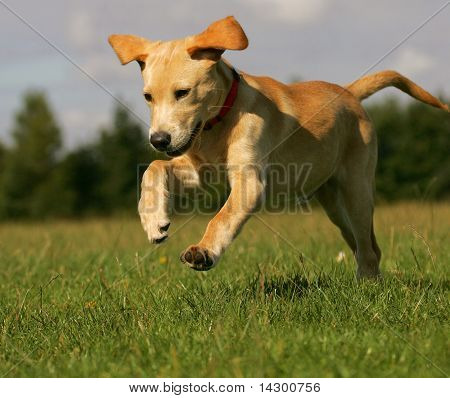 A golden yellow lab playing on a grass field.