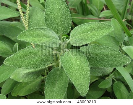 Sage plant in the garden. Tuscany Italy