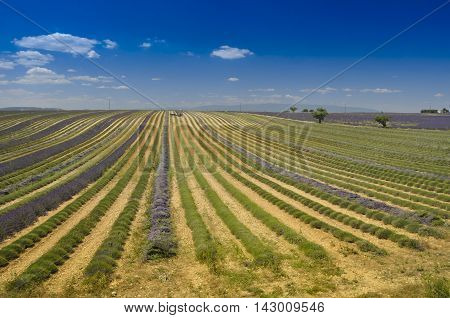 Lavender field in Provence south of France.