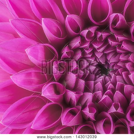 Purple flower petals, close up and macro of chrysanthemum, beautiful abstract background.