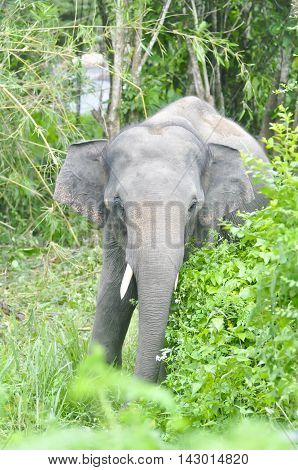 gray elephant in the forest , young elephant