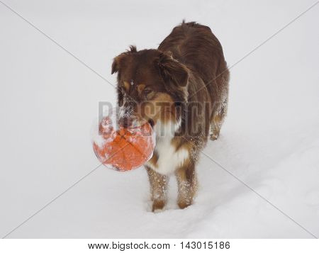 Young dog with a basketball in its mouth
