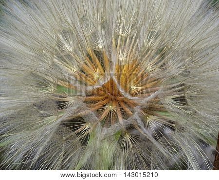 Tight close up of a an old dandelion puff ball