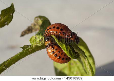 maggot Colorado beetle on leaf of potato