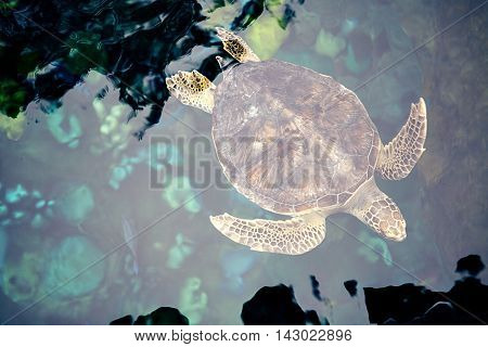 Close-up olive green turtle, sea turtle in blue water, olive green turtle in water, smiling turtle photo, sea turtle smiling, adult turtle, tropical animal, sea animal in water, swimming turtle