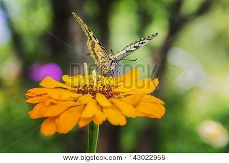 Swallowtail Butterfly Papilio machaon on flower .