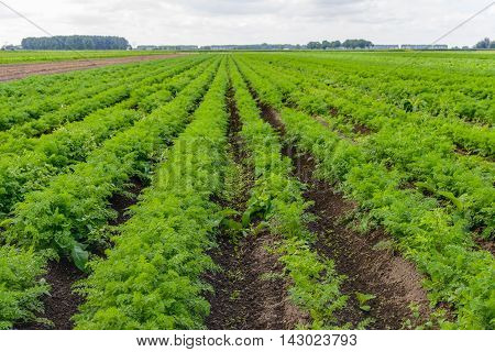 Large field with carrot plants and weeds in the open ground of a specialized organic vegetable nursery. It has rained a lot and there is a lot of unwanted weeds now.
