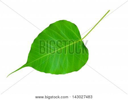 Bodhi Tree leaf isolated on white background.