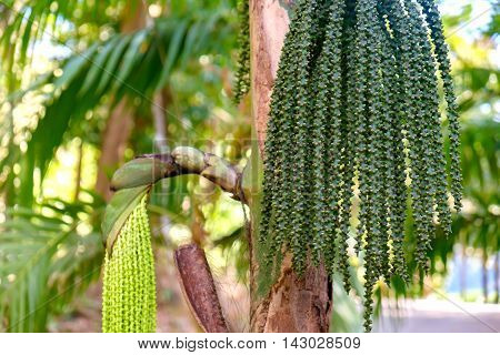 Betel palm or Betel nut or Areca catechu green raw in bunch. Betel leaves are used in folk medicine of Asian countries as an aphrodisiac analgesic and antiseptic. Botanical photography.