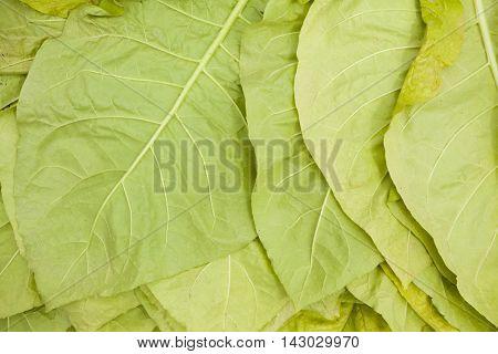 green tobacco leaves or natural background, harvest