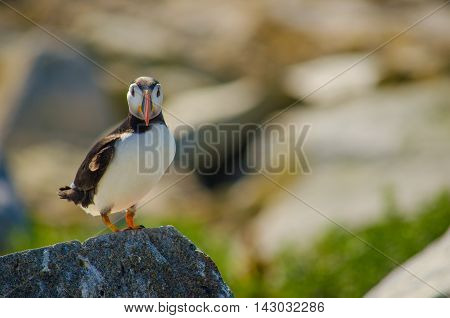 An Atlantic puffin standing on a rock
