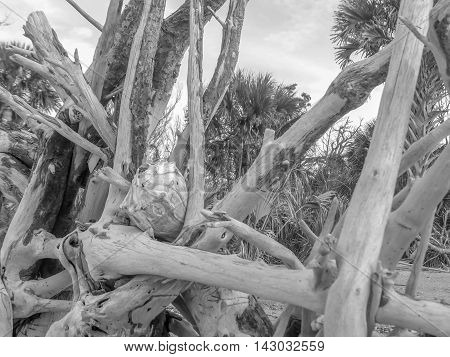 This is a picture of driftwood on Driftwood Beach, Edisto Island, SC.  There is a conch shell in the middle of the driftwood.