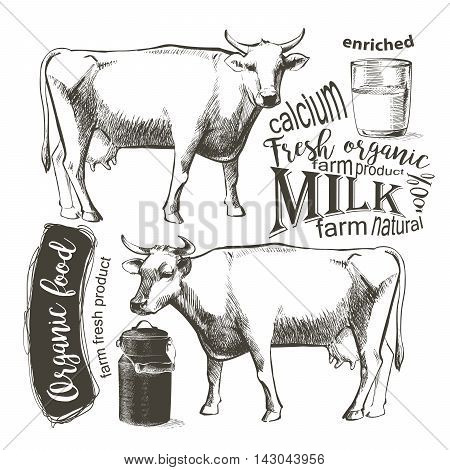 Cow in graphic vintage style, hand drawing vector image.
