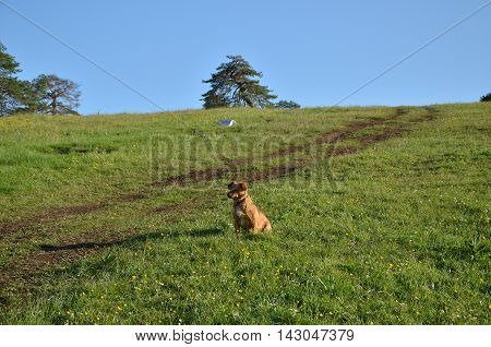 Small Brown Dog