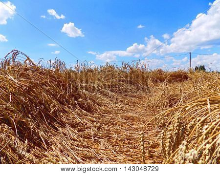 Knocked down wheat on field after tornado