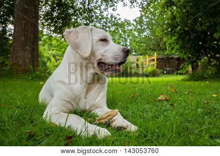 Sweet cute labrador dog puppy lying on a green meadow and looking beautiful