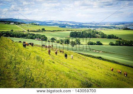 A herd of cows in a field in ScotlandScottish summer landscape East Lothians Scotland UK