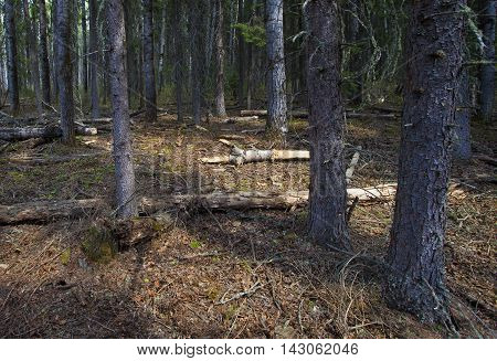 Light barely sneaking into a dark forest in Saskatchewan Canada