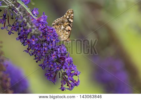 Painted Lady (Vanessa cardui) extracting nectar from Butterfly Bush (Buddleja davidii)
