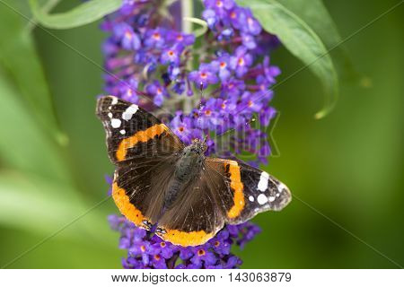 Red Admiral (Vanessa atalanta) butterfly extracting nectar from Butterfly Bush (Buddleja davidii)