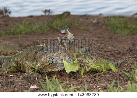 Three Green Iguanas fouraging over some lettuce in South Florida