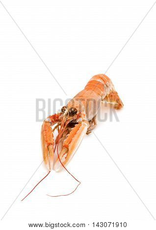 shrimp with pincers isolated on white background