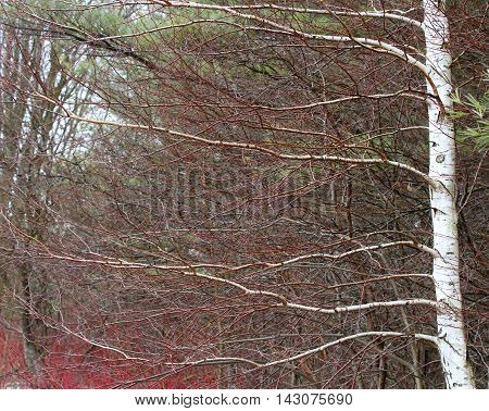Leafless white birch tree with branches in springtime