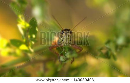 Macro photograph of a grasshopper in setting sun.