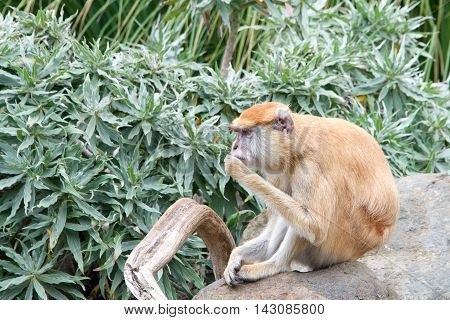 patas monkey sitting on a rock eating leaves