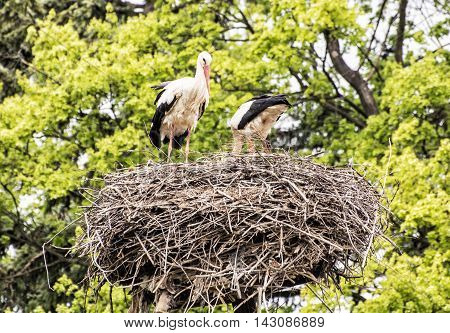 Family of White stork - Ciconia ciconia - in the nest. Animal scene. Bird watching. Seasonal natural scenery. Beauty in nature. Red beak.