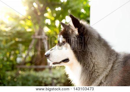 Alaskan malamute dog looks ahead in Bright sunlight on the background.